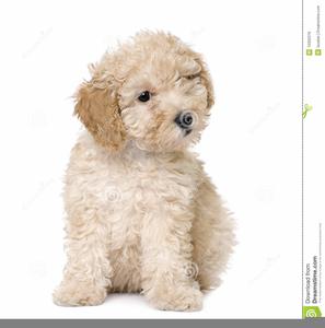 Bath clipart poodle. Dogs poodles download free