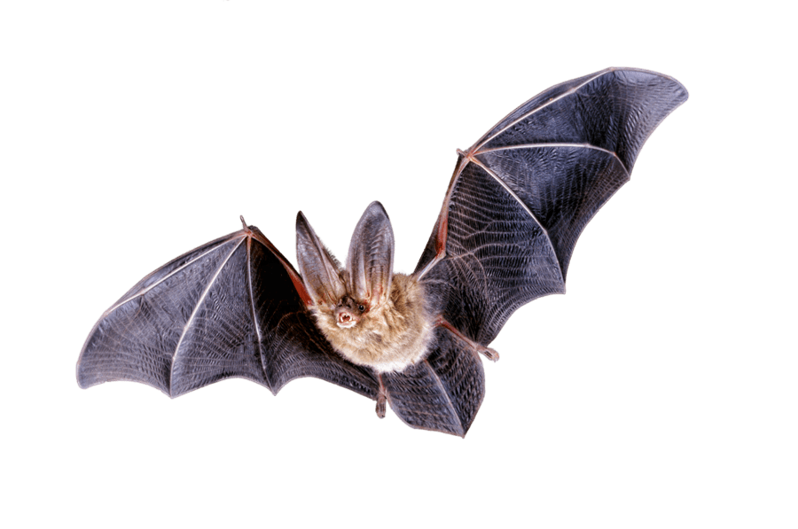 Bats transparent png images. Clipart animals bat