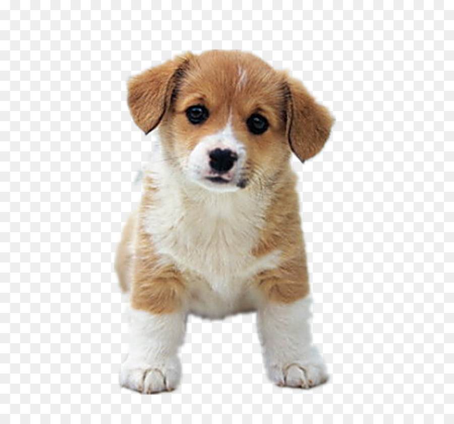 Beagle clipart adorable puppy. Golden retriever dalmatian dog