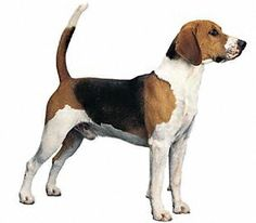 Black and tan virginia. Beagle clipart american foxhound