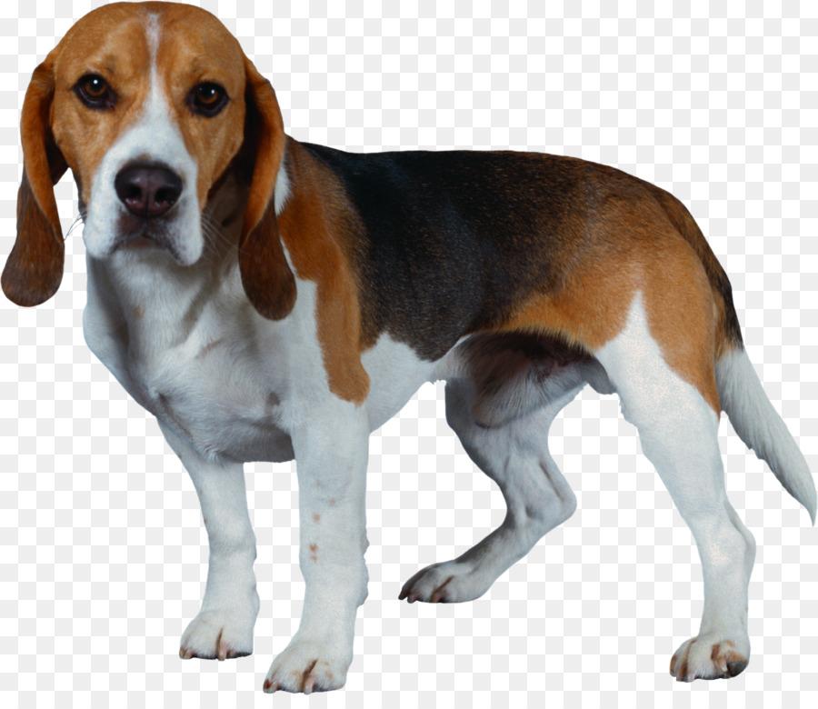 Harrier shiba inu puppy. Beagle clipart american foxhound