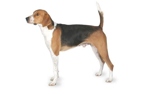 Dog breed information pictures. Beagle clipart american foxhound