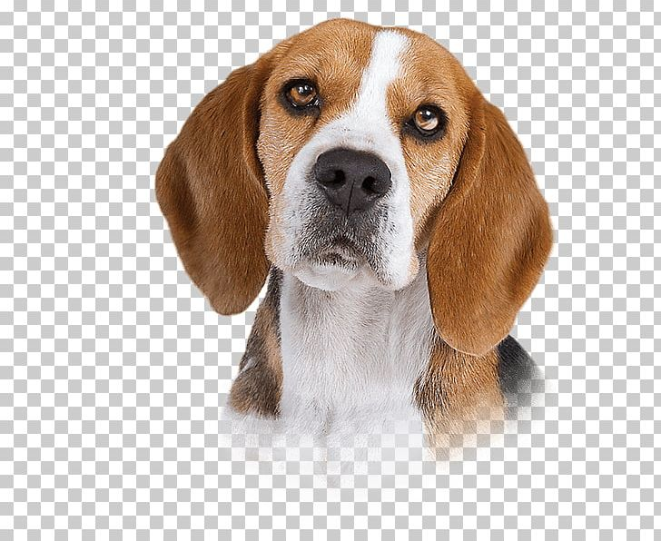 Harrier english finnish hound. Beagle clipart american foxhound