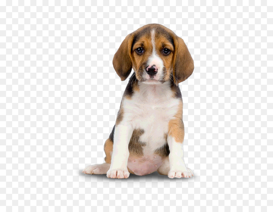 Golden retriever clip art. Beagle clipart baby puppy