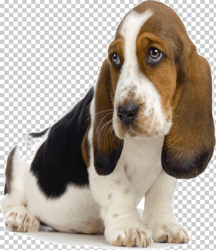Basset hound puppy bluetick. Beagle clipart bloodhound