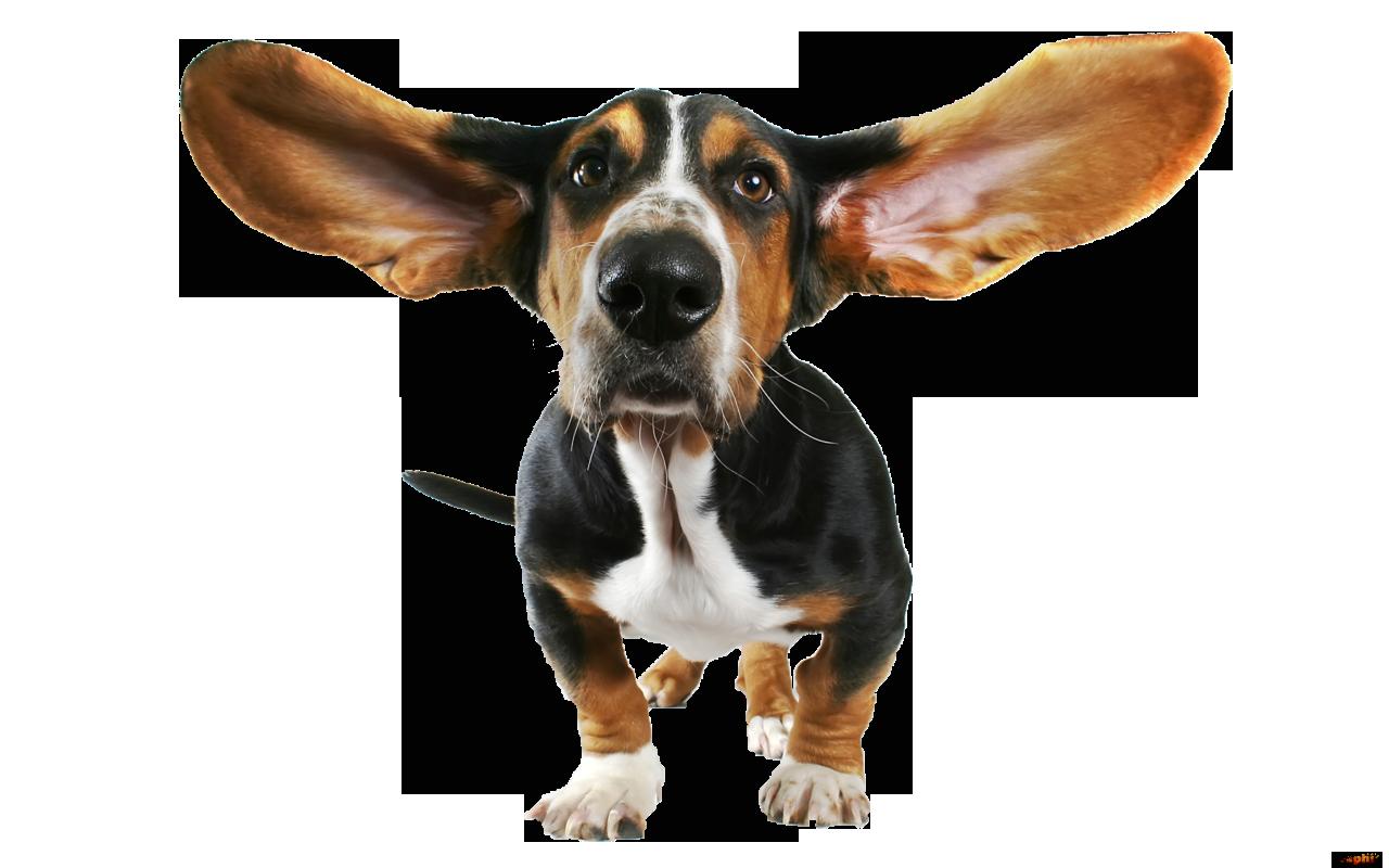 Basset hound bloodhound papillon. Beagle clipart chihuahua