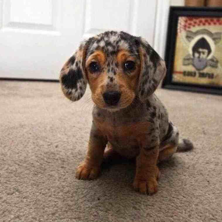 Beagle clipart chiweenie. Rottweilercorgi mix dogs san
