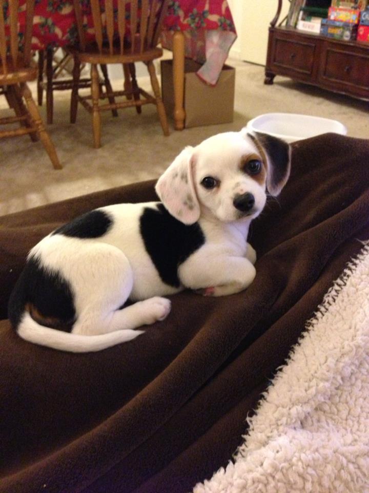 She s a cheagle. Beagle clipart chiweenie