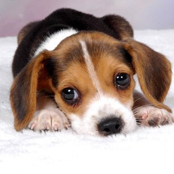 Beagle clipart cute. Best hunting beagles for