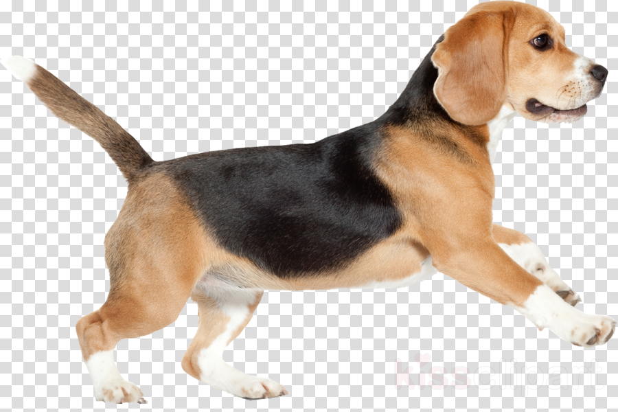 Hd puppy png transparent. Beagle clipart dry dog