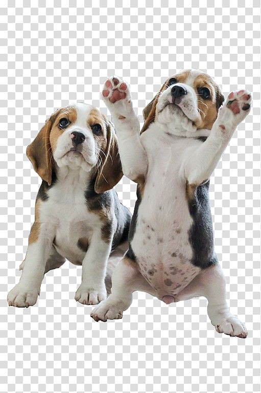 Two white and brown. Beagle clipart little puppy