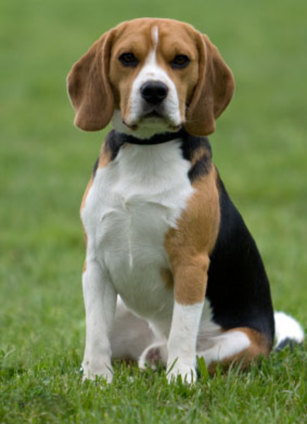 Free images at clker. Beagle clipart medium