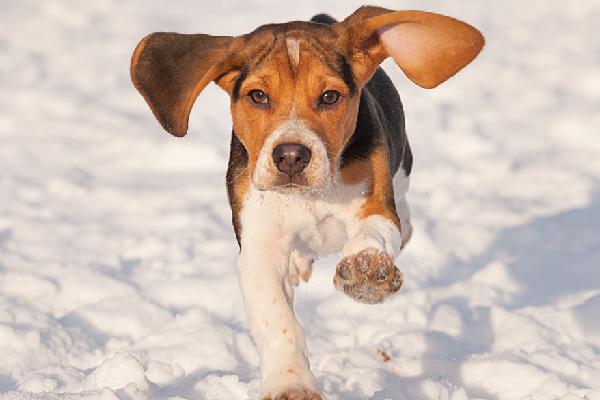Meet everyone s favorite. Beagle clipart one dog