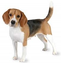 Jpg. Beagle clipart public domain