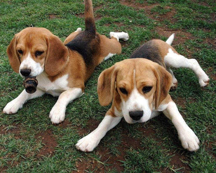 Puppy . Beagle clipart pup