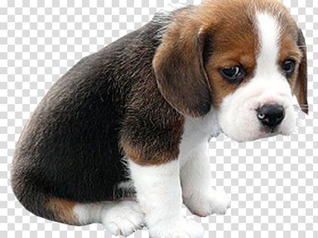 Beagle clipart sad dog. Bulldog puppy face golden