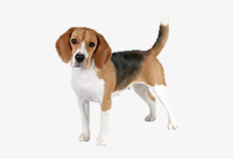 Dog . Beagle clipart transparent background
