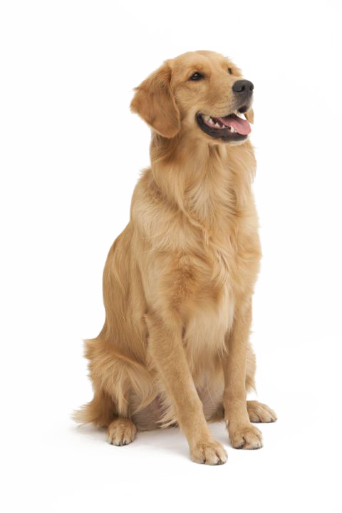 Pig clipart dog. Dogs pet animal png