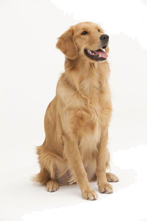 Dog dogs pet animal. Beagle clipart transparent background