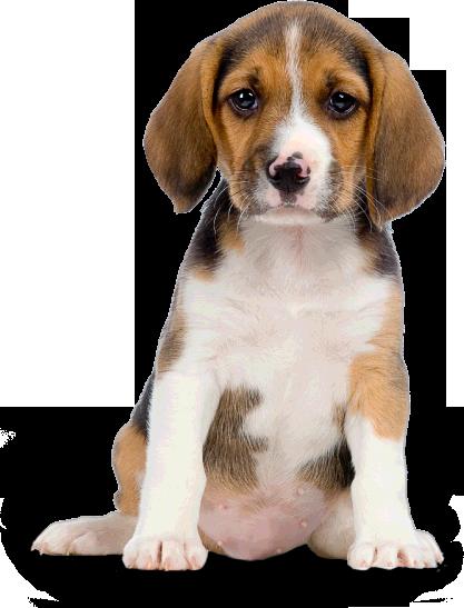 Google image result for. Beagle clipart transparent background