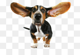 Free download basset hound. Beagle clipart transparent background
