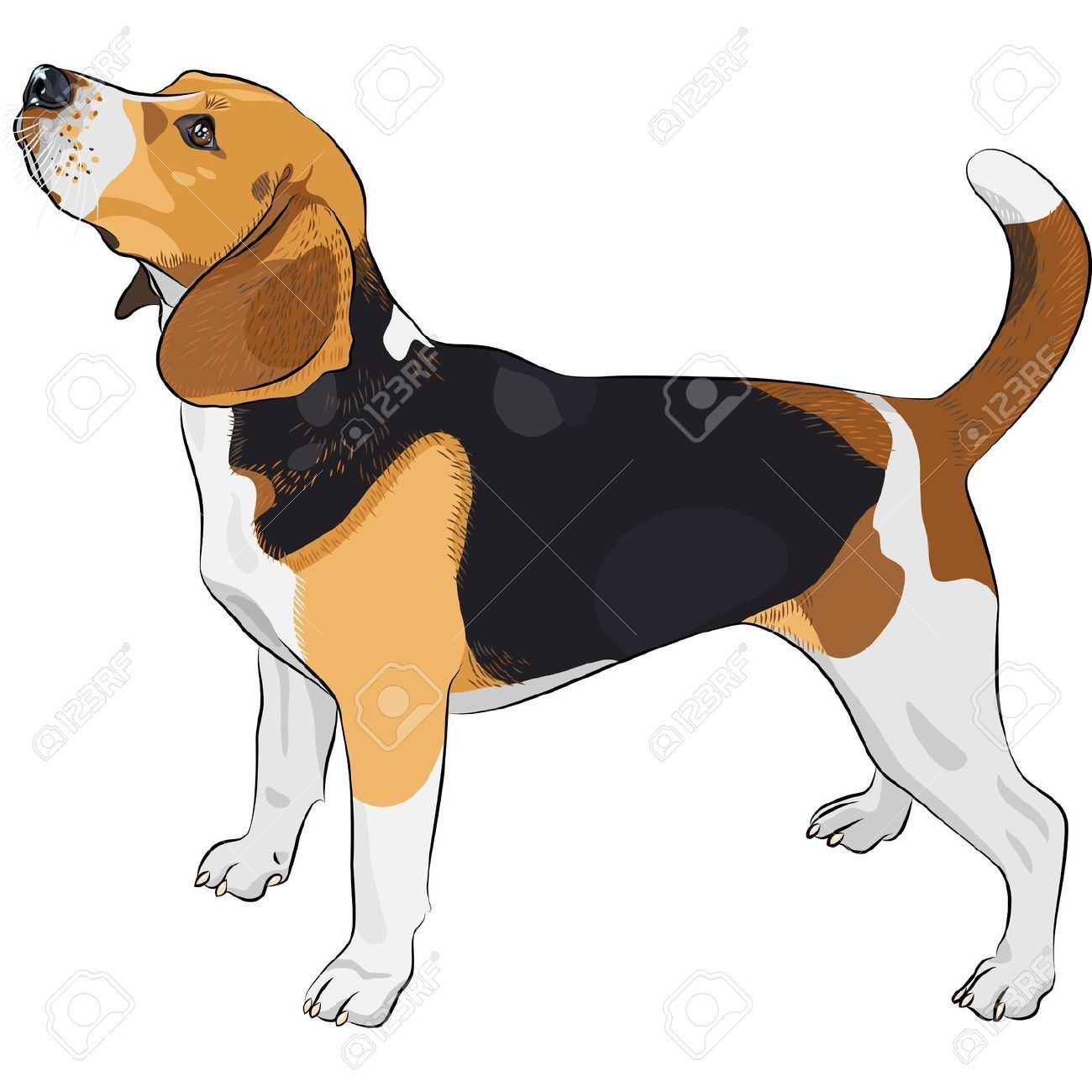 Beagle clipart vector. Stock animal drawing inspirations
