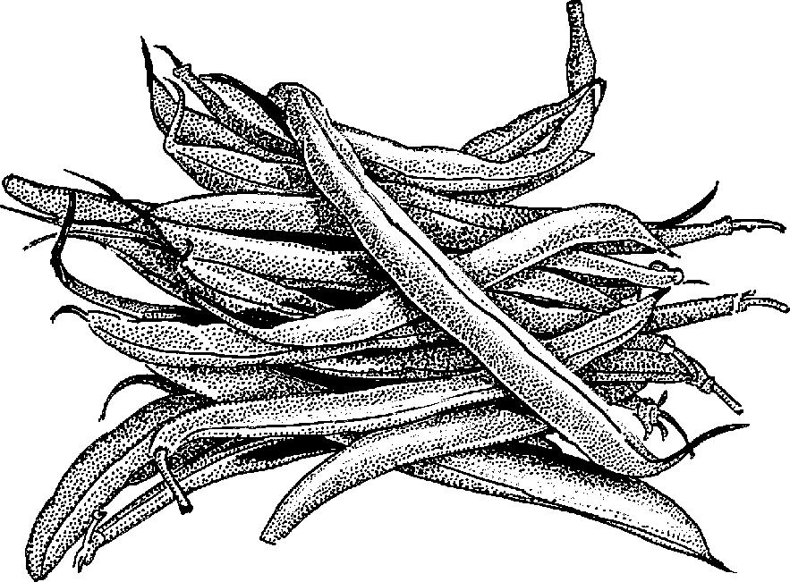 Bean clipart bataw. Green beans drawing at