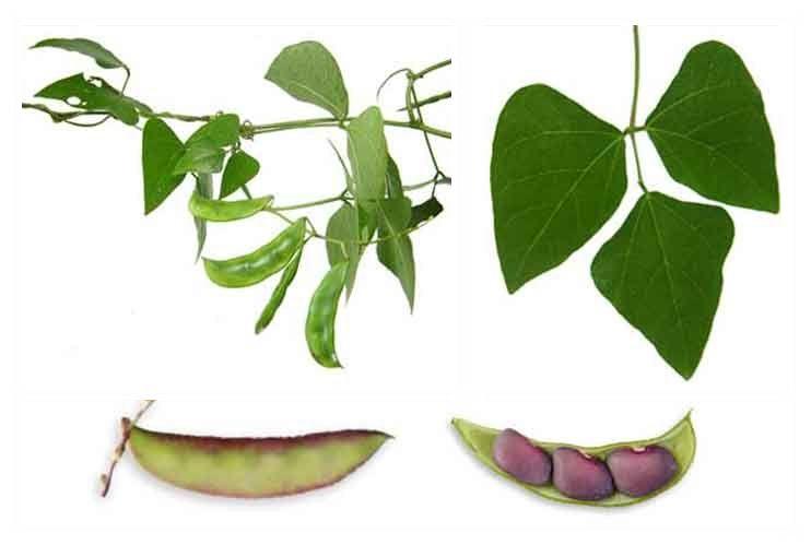 Hyacinth bahay kubo plant. Bean clipart bataw