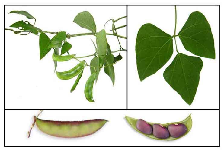 Lablab purpureus hyacinth bean. Beans clipart bataw