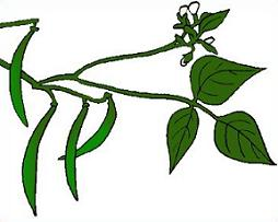Free green beans plants. Bean clipart bean plant