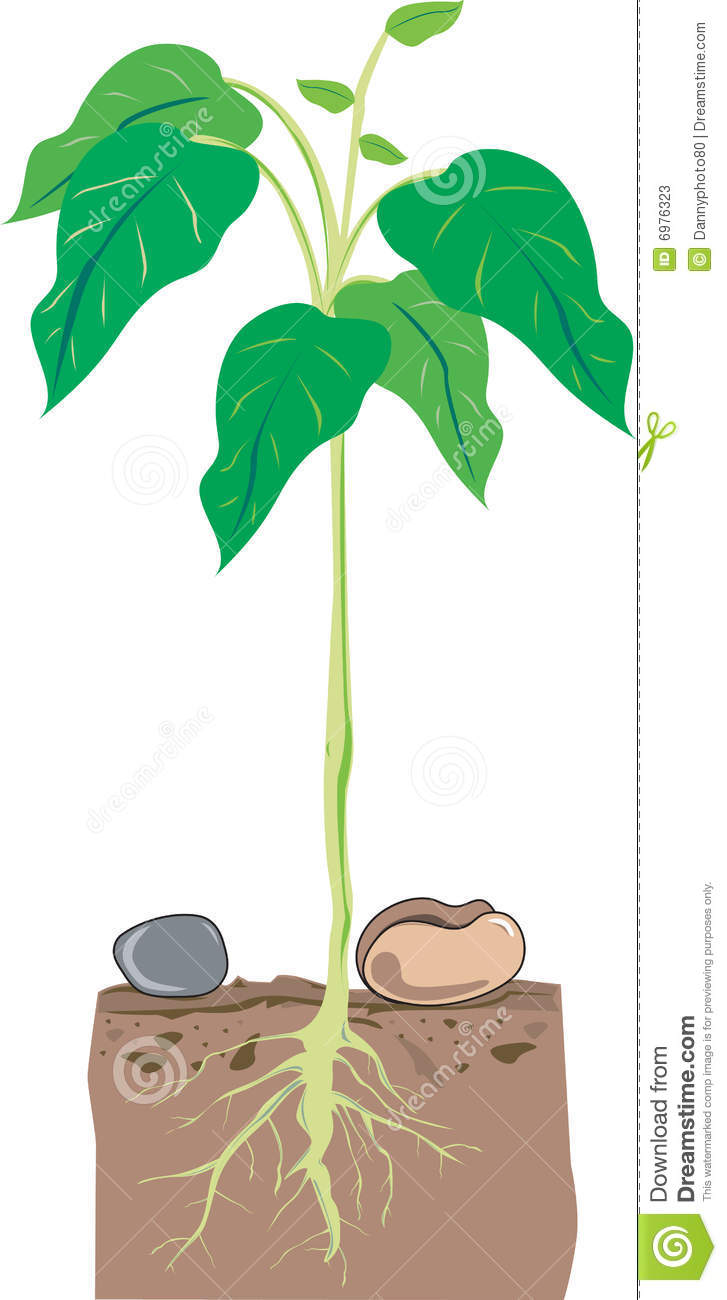 Stock photos image free. Bean clipart bean plant
