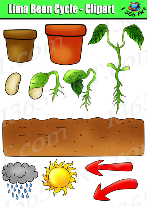 Bean clipart bean plant. Life cycle lima set