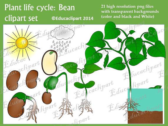 Plant life cycle set. Bean clipart bean pod