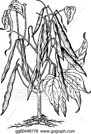Vector plant phaseolus illustration. Bean clipart drawing