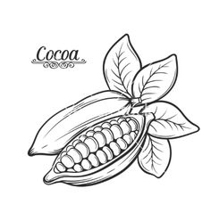 Vector of cocoa beans. Bean clipart drawing