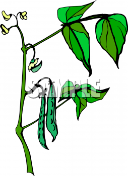 Picture of growing on. Beans clipart green bean