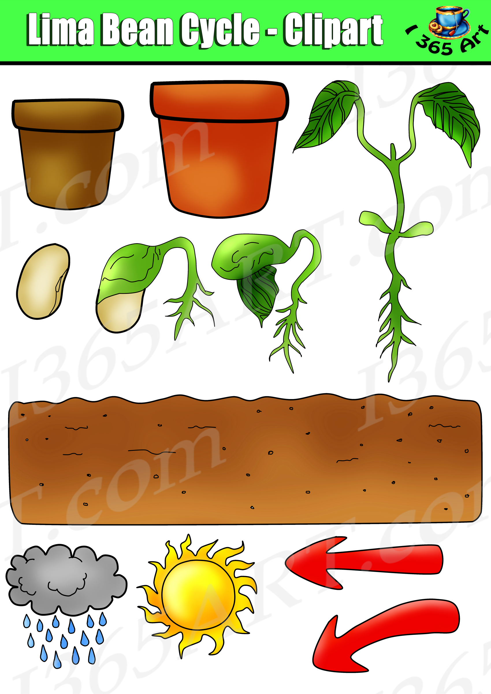 Beans clipart lima bean. Plant life cycle set