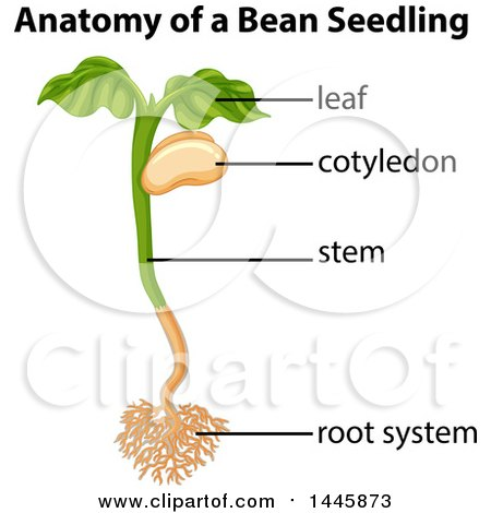 Beans clipart lima bean. Anatomy of seedling pencil