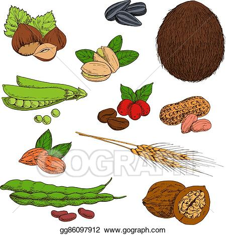 Eps vector sketched and. Bean clipart nuts