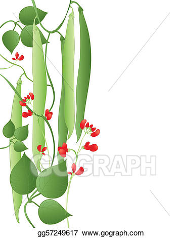 Beans clipart runner bean. Vector illustration