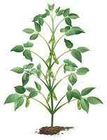 Bean clipart soybean. Growing plant in dirt