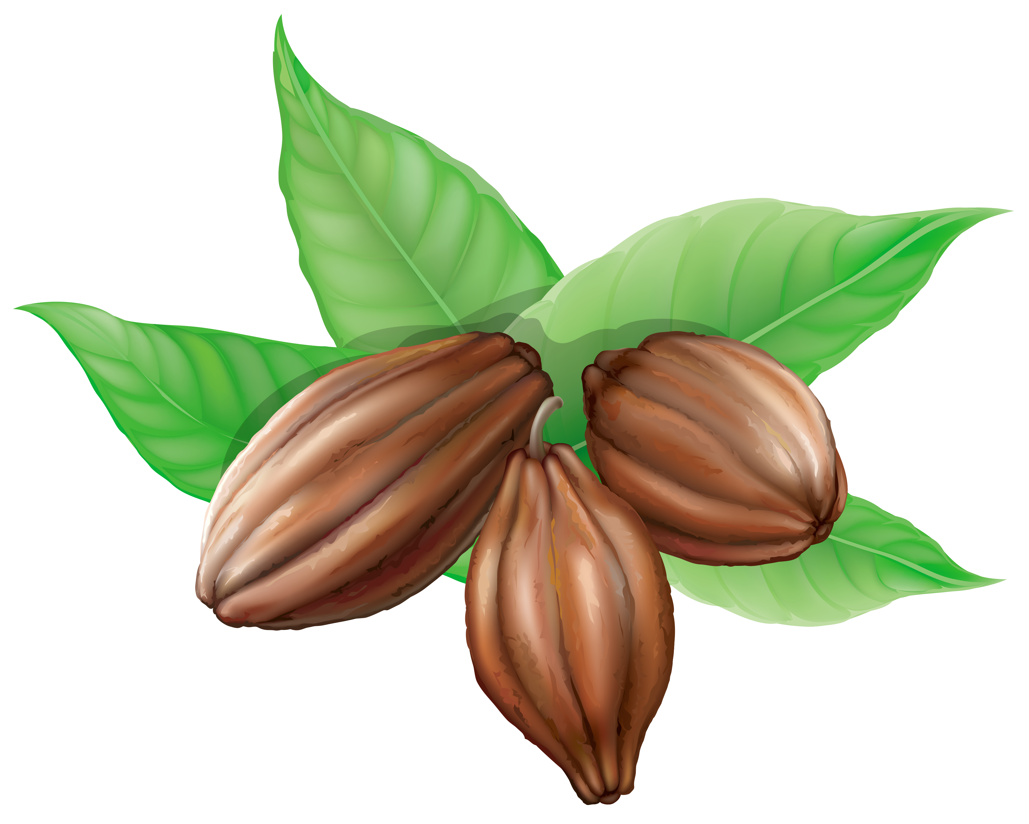 Cocoa beans png picture. Bean clipart transparent