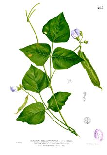 Bean clipart winged bean. Wikipedia
