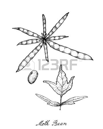 String beans drawing at. Bean clipart winged bean