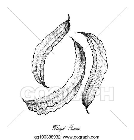 Bean clipart winged bean. Vector art hand drawn