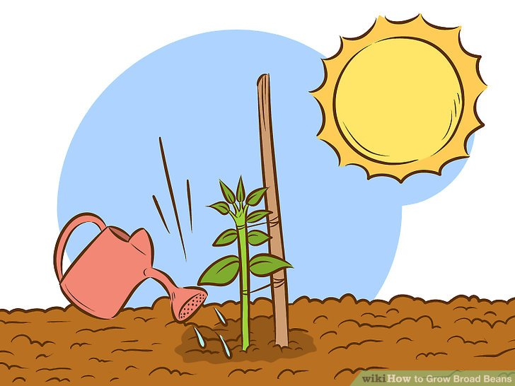 Beans clipart bean plant. How to grow broad