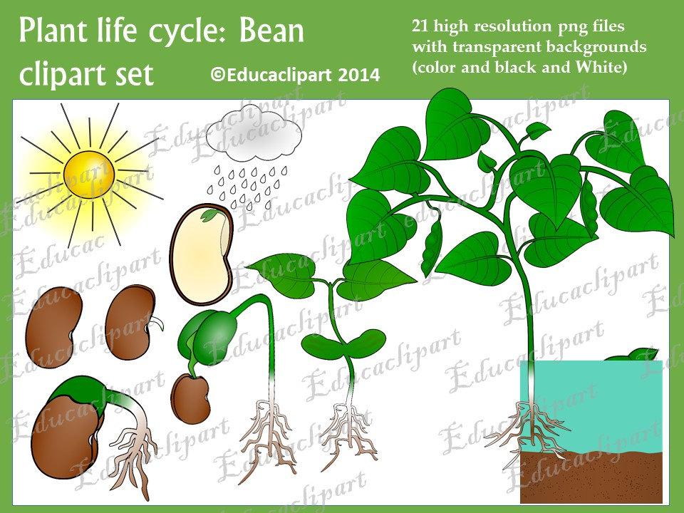 Life cycle set . Beans clipart bean plant