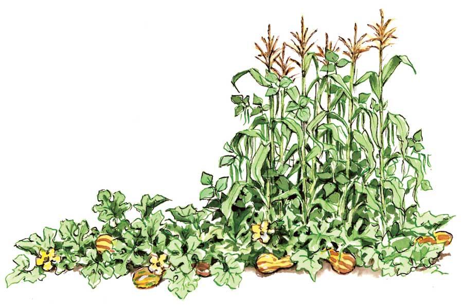 Beans clipart corn. The mayan trifecta taste