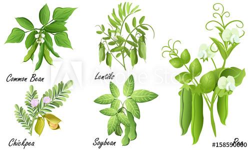 Beans clipart lentils. Legume plants common bean