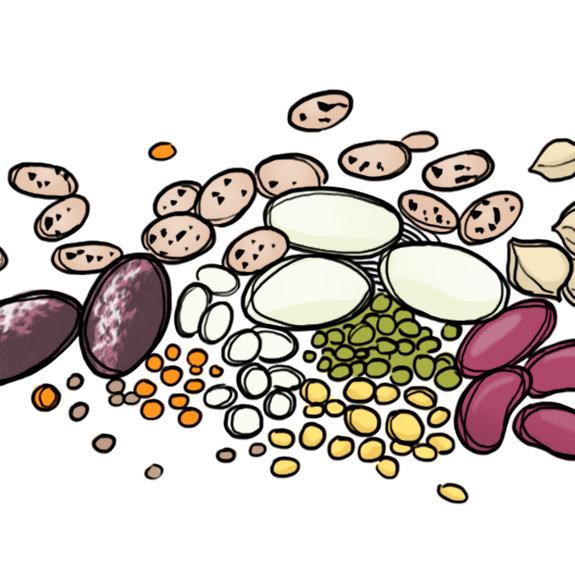 Beans clipart lentils. What are legumes should